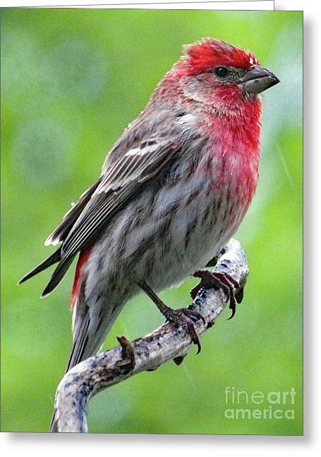 House Finch - Model Greeting Card