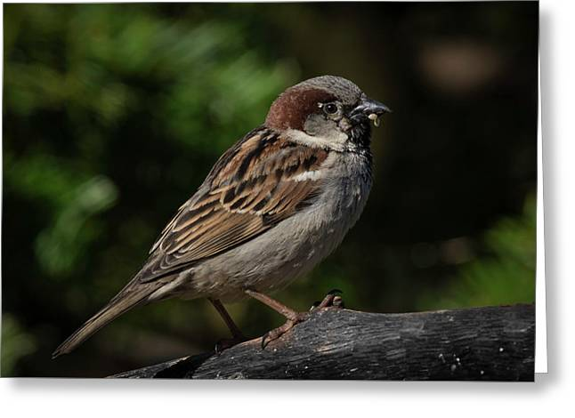 House Sparrow 2 Greeting Card by Kenneth Cole