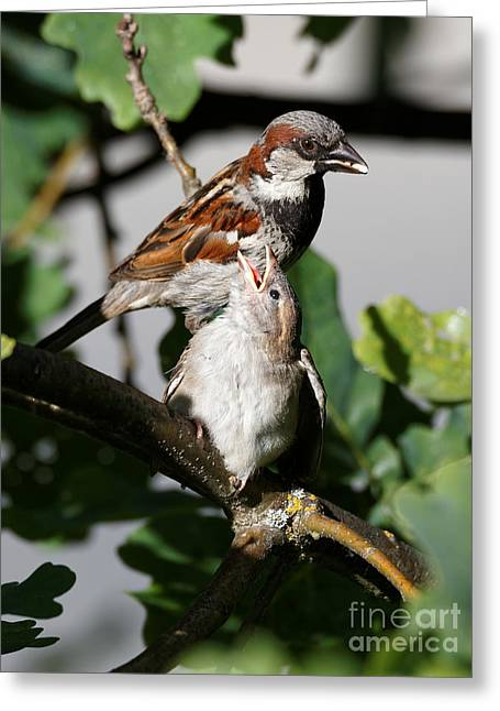 Greeting Card featuring the photograph House Sparrow - Feed Me Daddy by Sue Harper