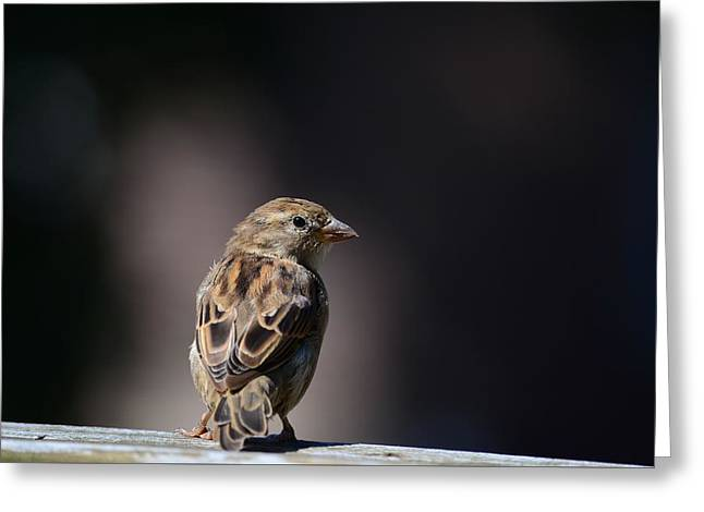 House Sparrow Greeting Card by Kathy Eickenberg