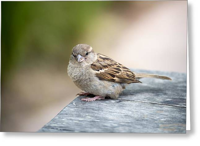 Greeting Card featuring the photograph House Sparrow by Scott Lyons