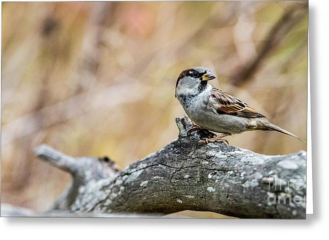 House Sparrow Greeting Card by Torbjorn Swenelius