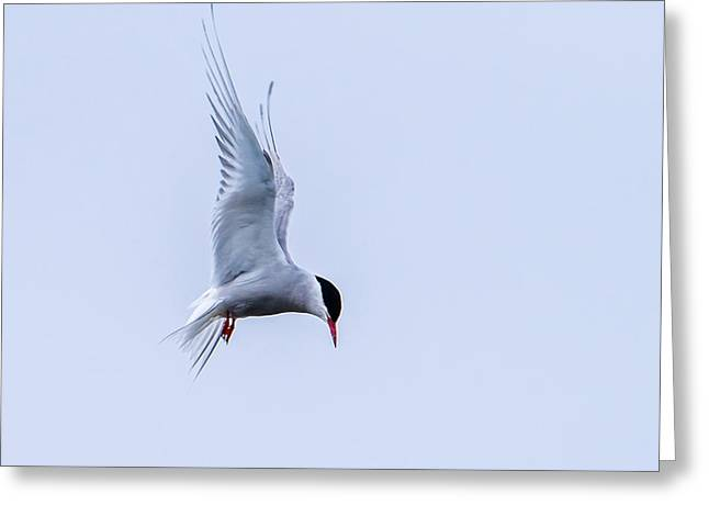 Hovering Arctic Tern Greeting Card