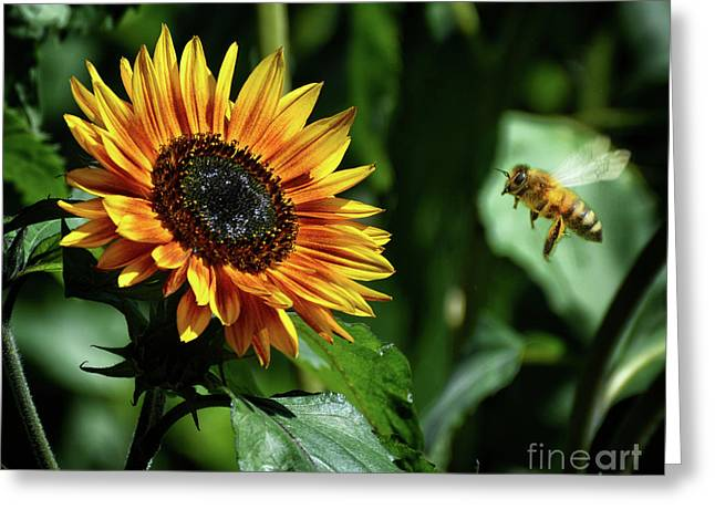 Hovering Bee Going For Sunflower Greeting Card by Stephan Grixti