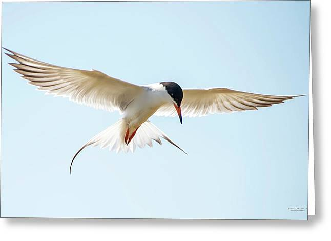 Hovering Tern Greeting Card