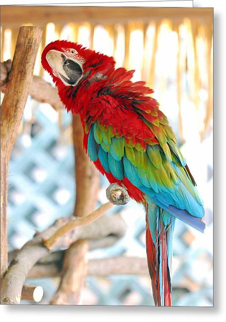 Mccaw Greeting Cards - Hows This Pose Greeting Card by Carol Christopher