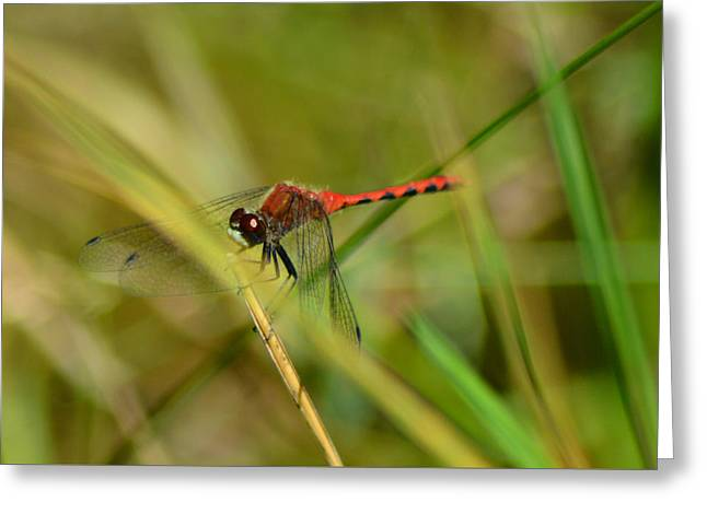 Greeting Card featuring the pyrography Hudsonian Whiteface Dragonfly by Sally Sperry