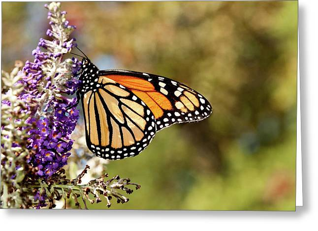 Greeting Card featuring the photograph Hues Of Autumn Monarch by Lara Ellis
