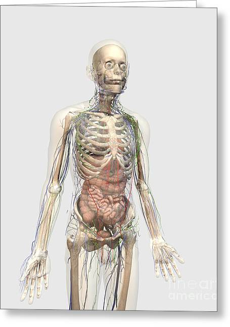Three-quarter Length Digital Art Greeting Cards - Human Body With Internal Organs Greeting Card by Stocktrek Images