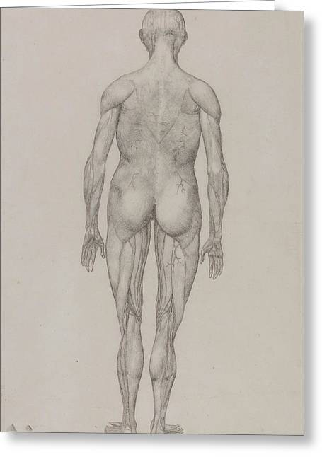 Human Figure, Posterior View Greeting Card by George Stubbs