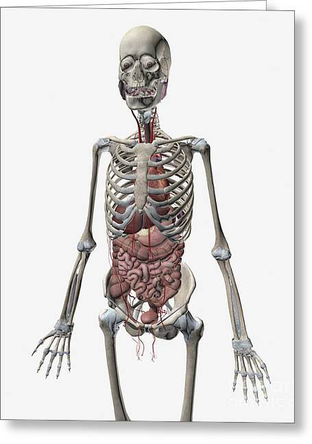 Human Skeletal System With Organs Greeting Card
