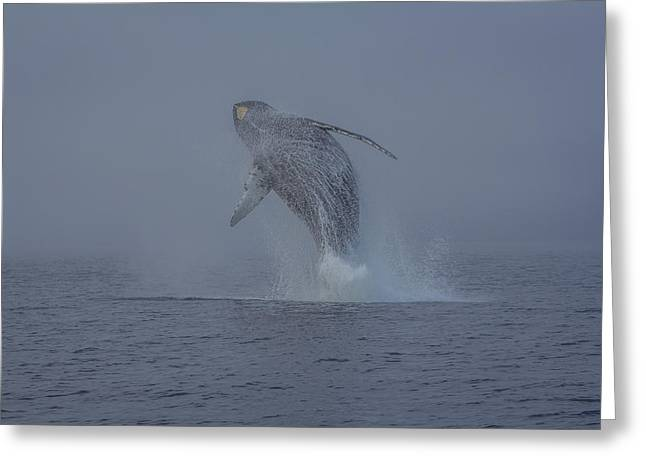 Humback Whale Breaching In Chatham Strait Greeting Card