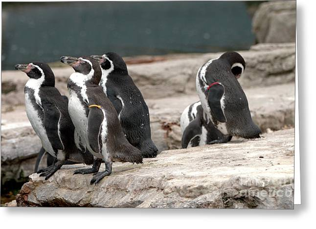 Humboldt Penguins Greeting Card