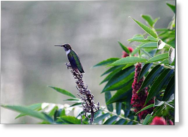 Hummer At Rest Greeting Card by Debbie Oppermann