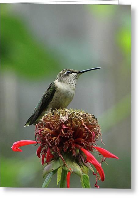 Humming Bird Atop Bee Balm Greeting Card