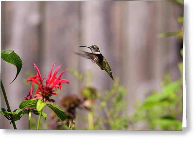 Humming Bird Hovering Greeting Card by David Stasiak