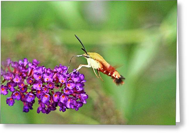 Humming Bird Moth Greeting Card by Geraldine Scull