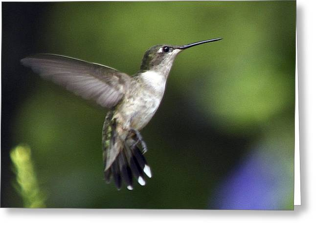 Hummingbird 2 Greeting Card