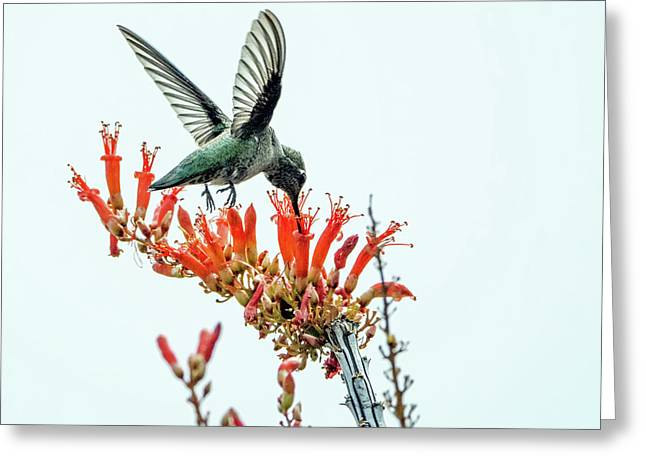 Hummingbird 7642 Greeting Card by Tam Ryan