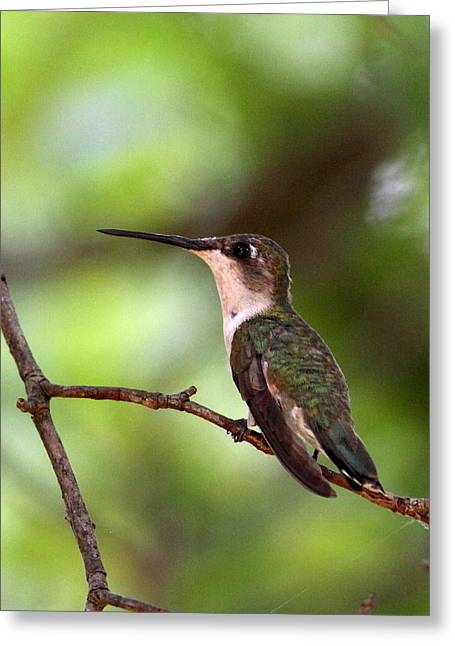 Hummingbird - Afternoon Ruby Greeting Card by Travis Truelove