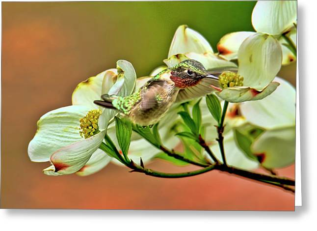 Hummingbird And Dogwood Blossoms Greeting Card