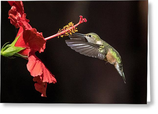 Hummingbird And Hibiiscus Greeting Card