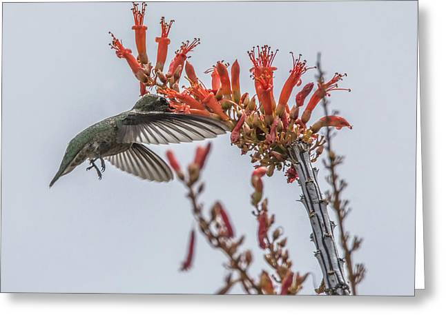 Hummingbird And Ocotillo Greeting Card by Tam Ryan