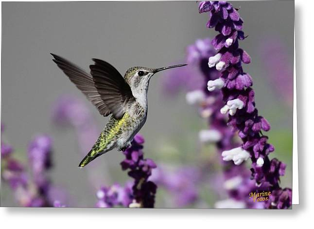 Hummingbird And Purple Flowers Greeting Card