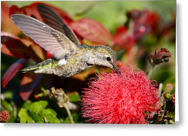 Hummingbird And Red Flower Greeting Card