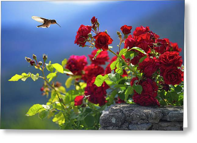 Hummingbird And Roses Greeting Card