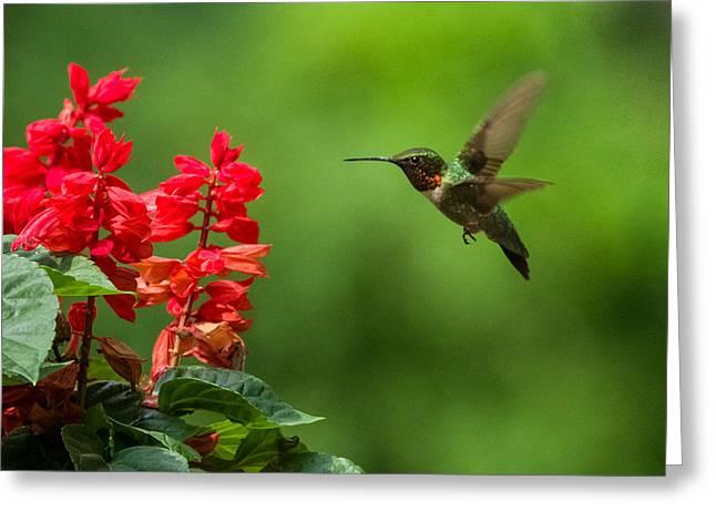 Hummingbird And Scarlet Sage Greeting Card