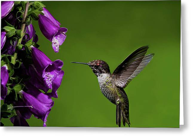 Greeting Card featuring the photograph Hummingbird Ballet by Lara Ellis