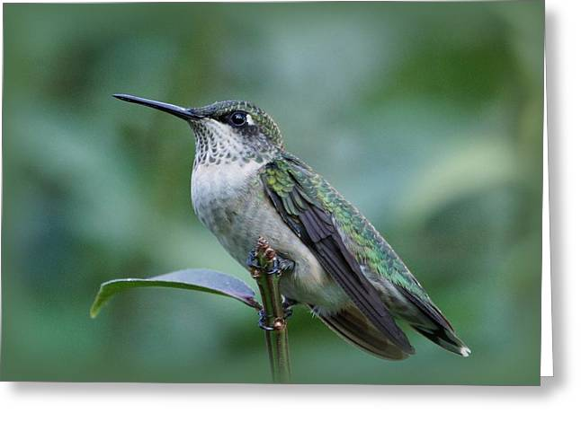 Hummingbird Close-up Greeting Card by Sandy Keeton
