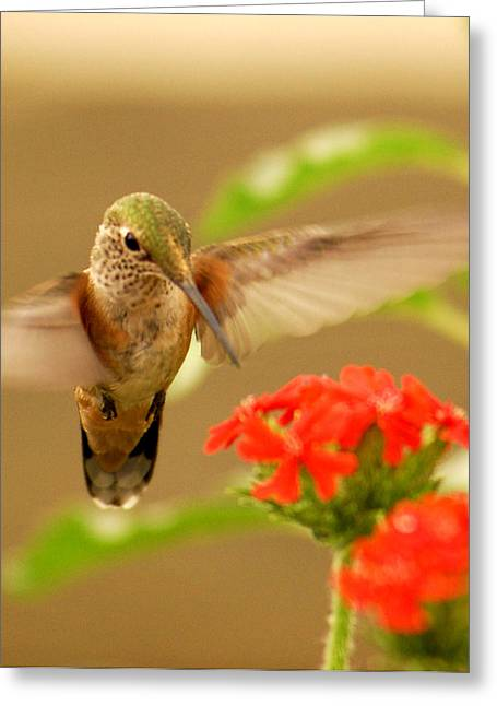 Hummingbird Greeting Card by Don Wolf