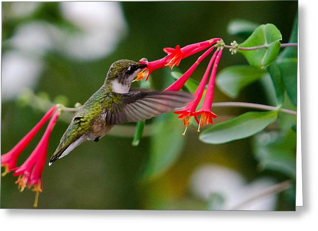 Hummingbird Feeding Greeting Card by Gary Wightman
