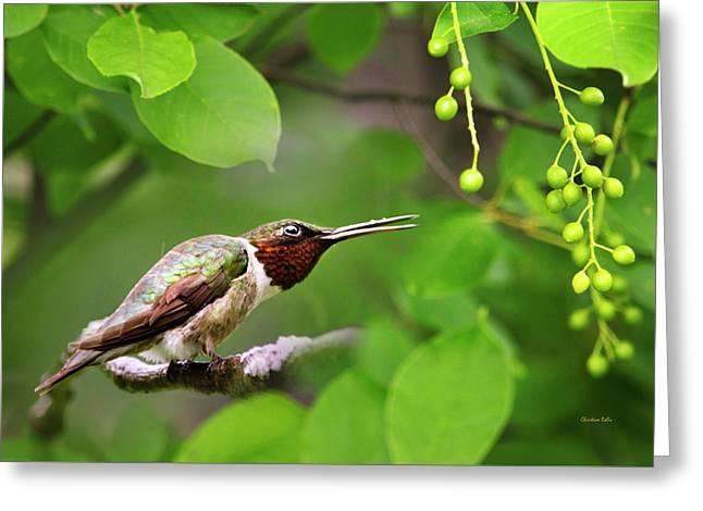 Hummingbird Hiding In Tree Greeting Card by Christina Rollo