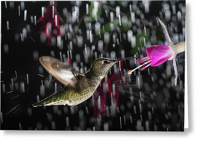 Greeting Card featuring the photograph Hummingbird Hovering In Rain With Splash by William Lee