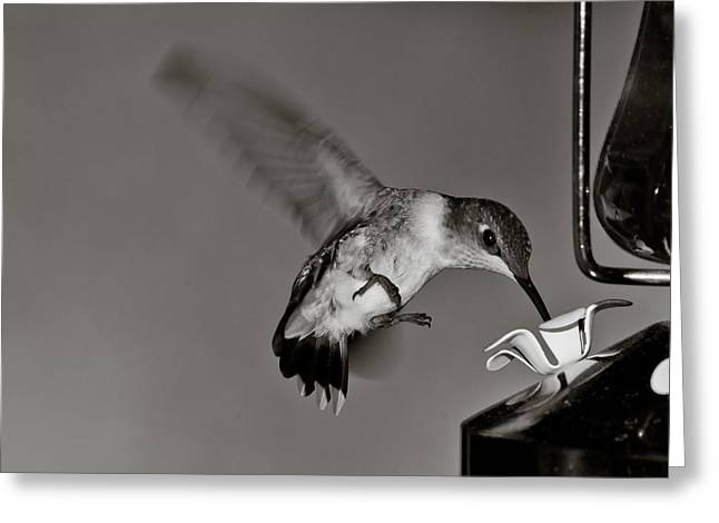 Hummingbird In Black And White Greeting Card by Edward Myers