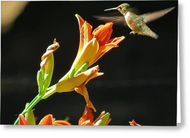 Hummingbird Tasting The Lillies Greeting Card