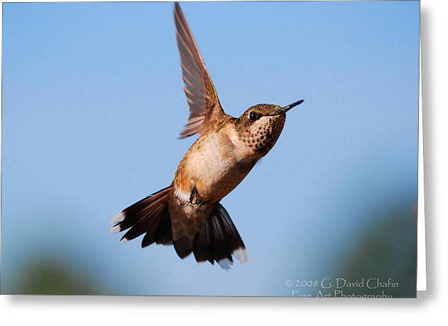 Hummingbird In Flight Greeting Card by Dave Chafin