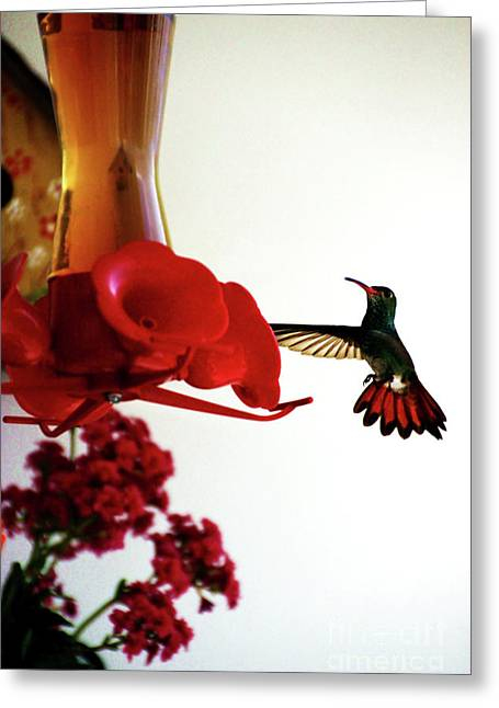 Hummingbird In Tulua, Colombia Greeting Card by Al Bourassa