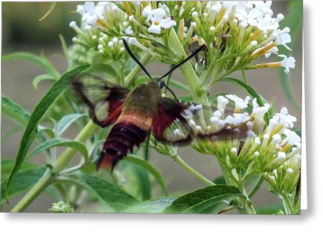 Hummingbird Moth - Clearwing L Greeting Card by Cindy Treger