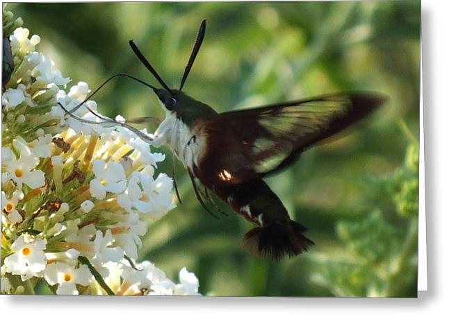 Clearwing Hummingbird Moth E Greeting Card by Cindy Treger