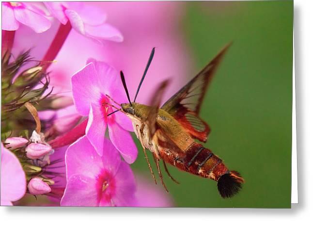 Hummingbird Moth Feeding 1 Greeting Card
