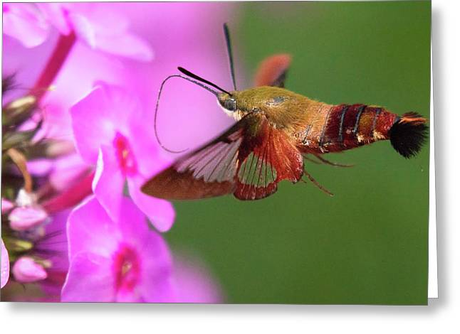 Hummingbird Moth Feeding 2 Greeting Card