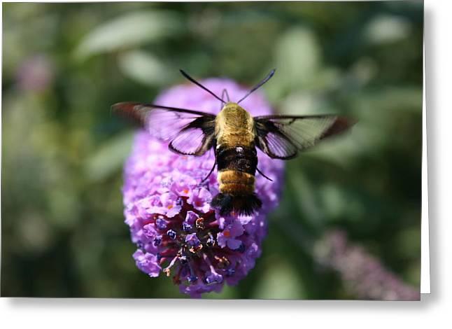 Hummingbird Moth Greeting Card by Janet Pugh