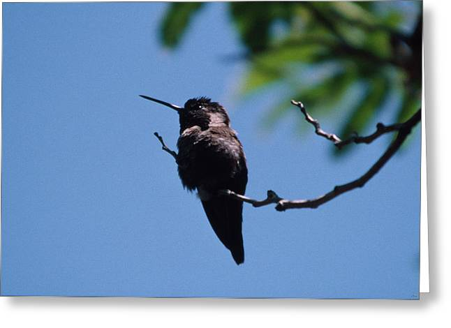 Hummingbird Greeting Card by Soli Deo Gloria Wilderness And Wildlife Photography