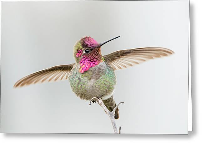 Hummingbird Stretch Greeting Card by Loree Johnson