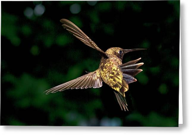 Hummingbird Taking Off Greeting Card