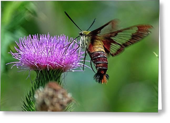 Hummingbirdbird Moth Dining Greeting Card